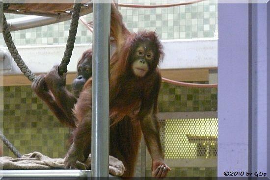 Sumatra-Orang-Utan MÜCKE mit SATU