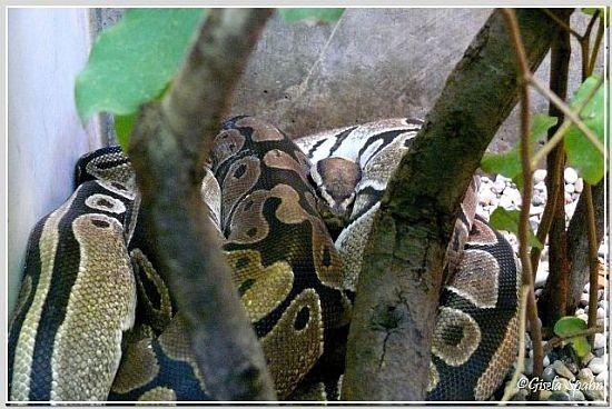 Königs-Python