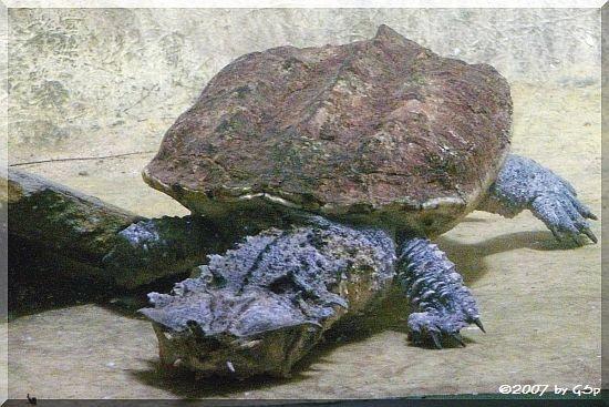 Matamata (Fransenschildkröte
