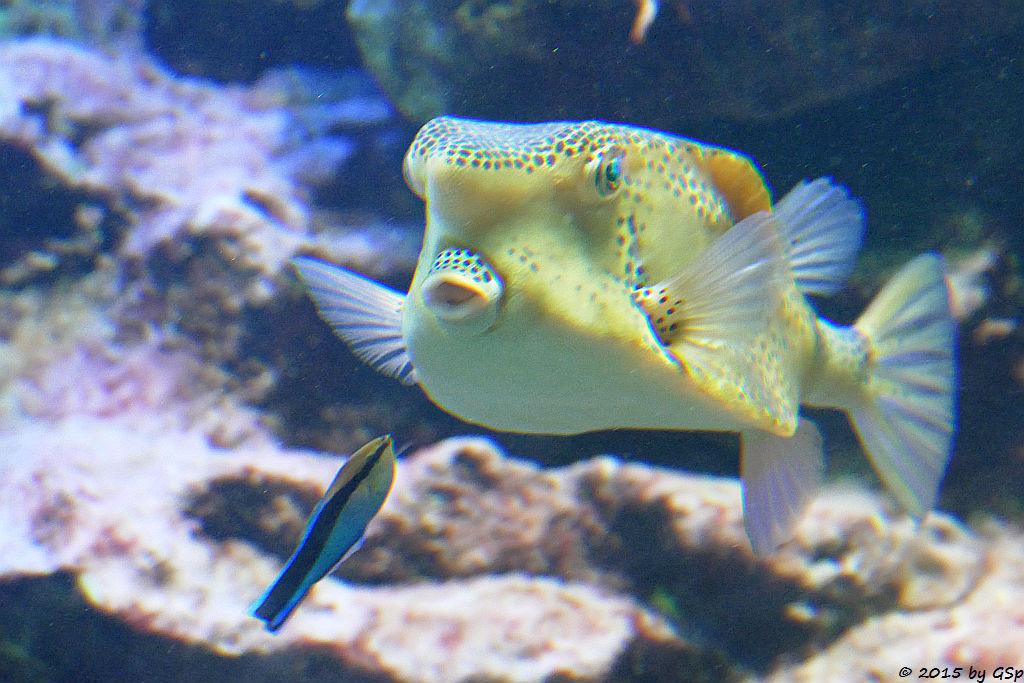 Putzerfisch, Gelber Kofferfisch