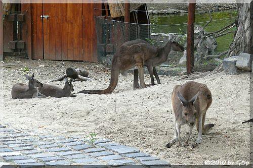Westl. graues Riesenkänguru