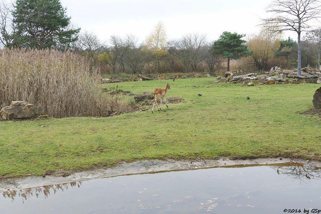 Weißnacken-Moorantilope (Mrs. Grays Wasserbock), Grévyzebra