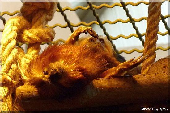 Goldkopflöwenäffchen