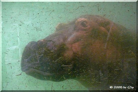 Flusspferd im Hippo-Canyon