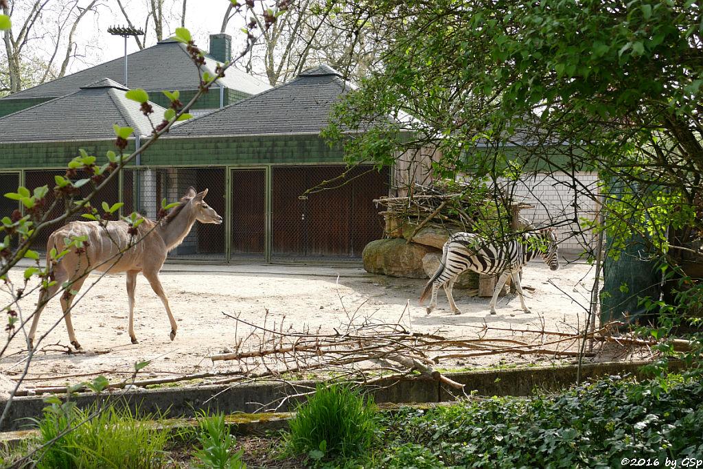 Großer Kudu, Damara-Zebra