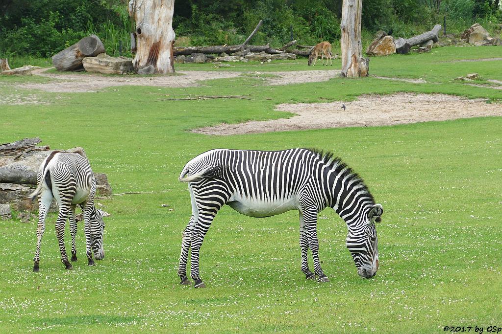 Grévy-Zebra, Weißnacken-Moorantilope (Mrs. Grays Wasserbock)