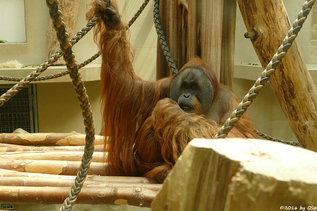 Sumatra-Orang-Utan UJIAN