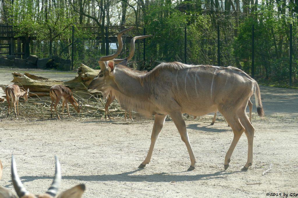 Großer Kudu, Gewöhnliche Impala (Schwarzfersenantilope)