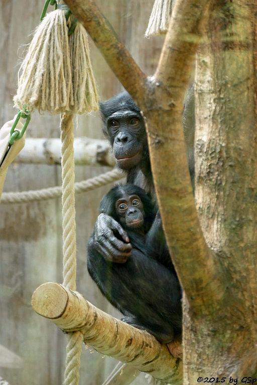 Bonobo BINTI m. BINA, geb. am 3.4.15 (6 Mon.)