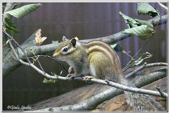 Burunduk (Sibir. Streifenhörnchen)