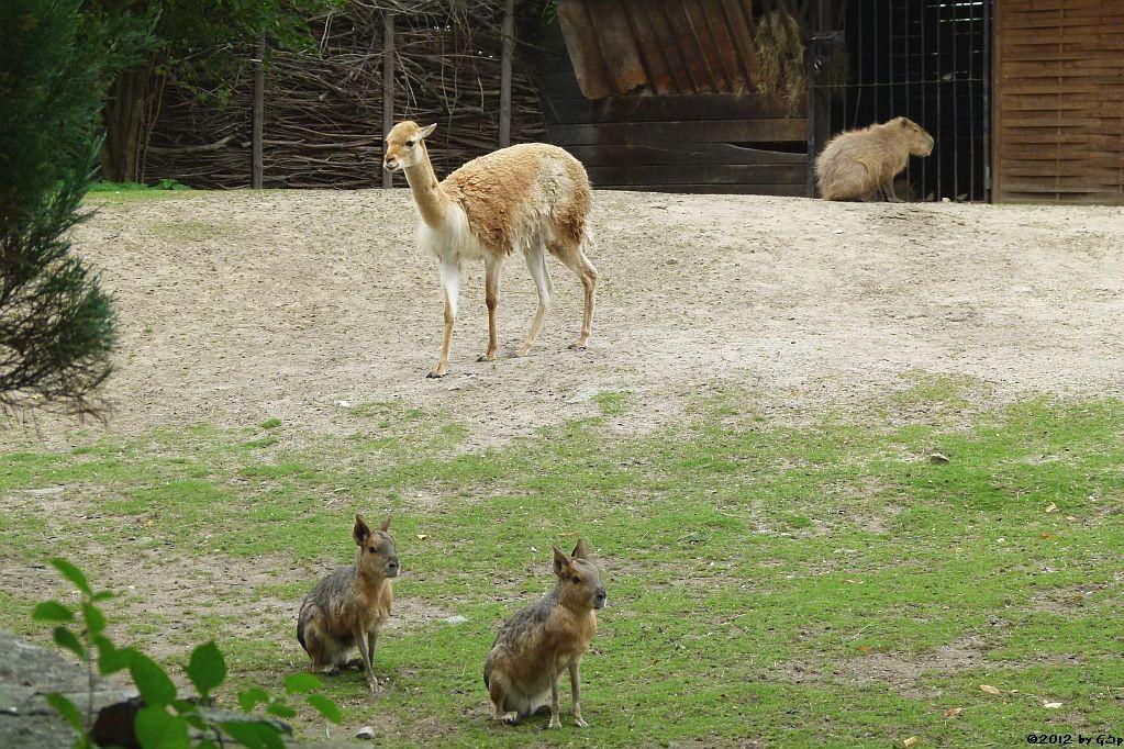 Mara, Vikunja, Capybara