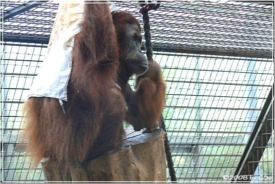Sumatra-Orang-Utan m. Baby EIRINA, geb. am 30.12.07