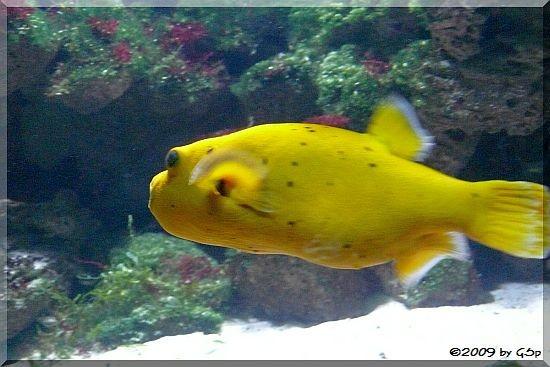 Perlhun-Kugelfisch (Gelbe Form)