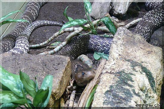 Brillenschlange (Ind. Kobra)