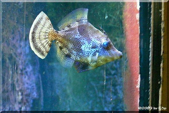 Bürstenschwanz-Feilenfisch
