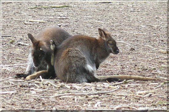 Bennet-Känguru