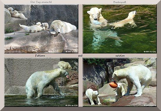 Eisbärin VERA mit ihren Zwillingsjungen ALEUT und GREGOR (geb. am 02.12.10) - 175 Fotos