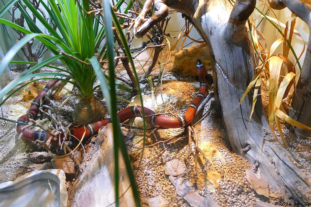 Sinaloa-Dreiecksnatter (Sinaloa-Königsnatter, Sinaloa-Milchschlange)