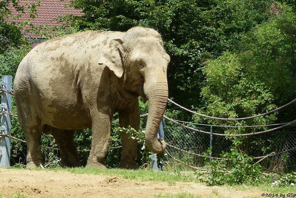 Asiatischer Elefant BURMA