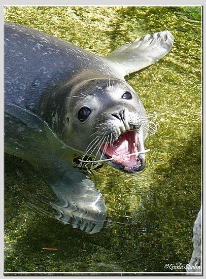 Seehund-Jungtier vom Juli 08