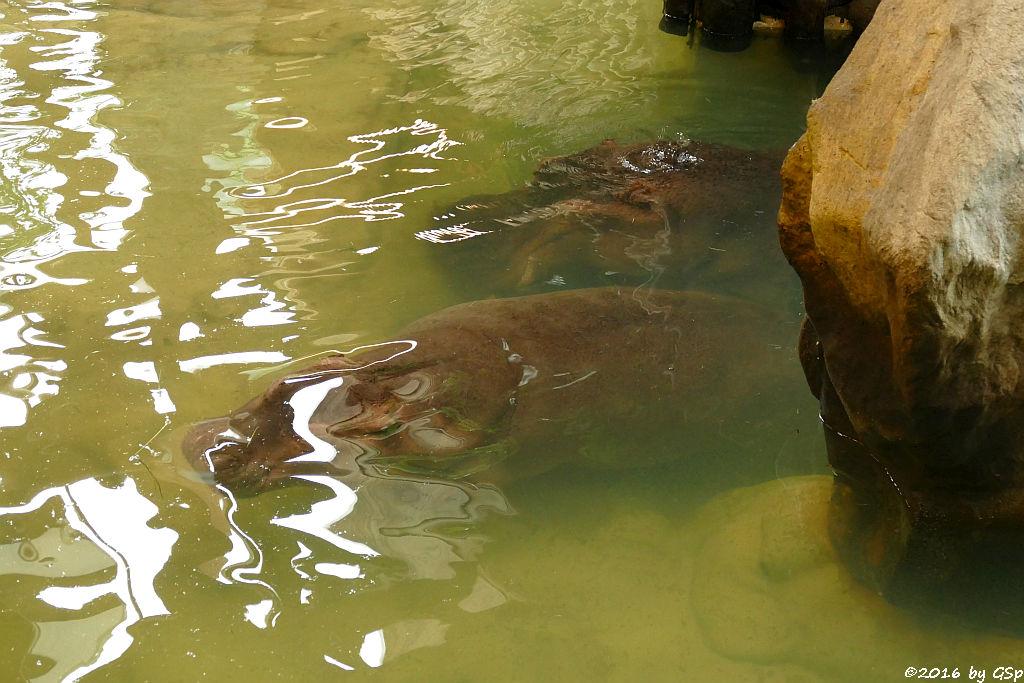 Flusspferd KARL WILHELM (1 Jahr alt) mit Mama KATHY