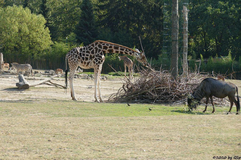 Böhm-Steppenzebra (Granz-Zebra), Impala (Schwarzfersenantilope), Rothschildgiraffe (Uganda-Giraffe, Baringo-Giraffe), Südliches Streifengnu (Blaues Gnu)