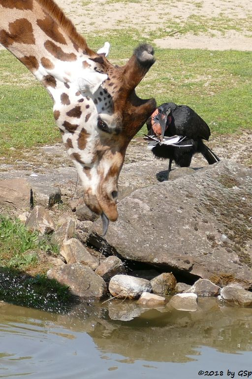 Rothschildgiraffe (Uganda-Giraffe, Baringo-Giraffe), Nördlicher Hornrabe (Sudan-Hornrabe, Abessinischer Hornrabe)
