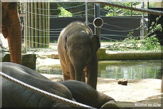 Asiatischer Elefant, Jungtier geb. am 17.5.09