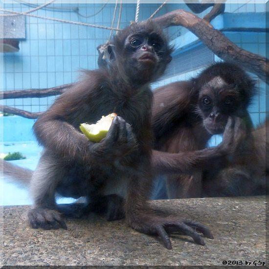 Goldstirnklammeraffe OCANA mit ihrem Baby