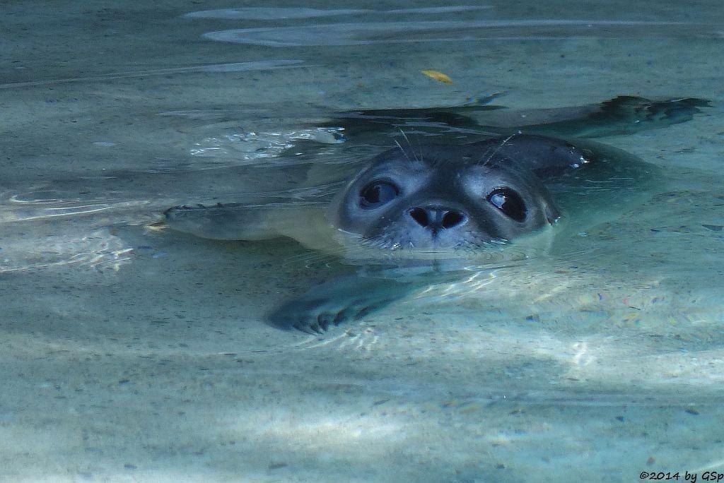 Seehund, geb. am 12.7.14 (hier 3 Tage alt)
