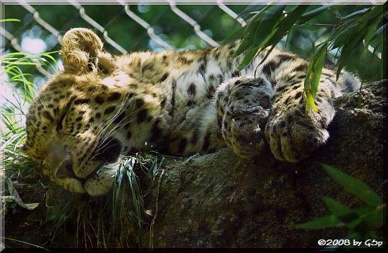 Chinesischer Leopard, geb. 24.08.07  (9 1/2 Mon. alt)