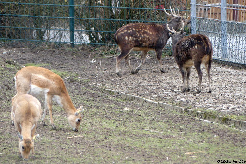 Hirschziegenantilope (Sasin), Prinz-Alfred-Hirsch