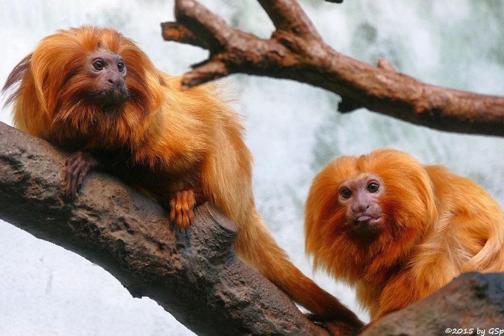 Goldgelbes Löwenäffchen