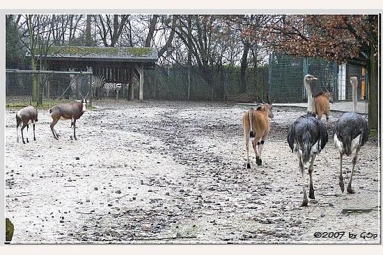 Blessbock, Grantzebra, Elenantilope und Südafrikan. Strauß