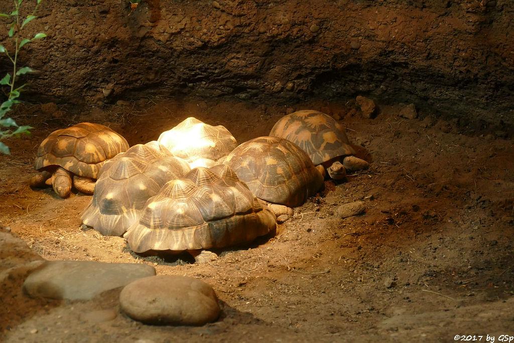 Pantherschildkröte, Strahlenschildkröte