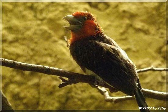 Braunbrust-Bartvogel