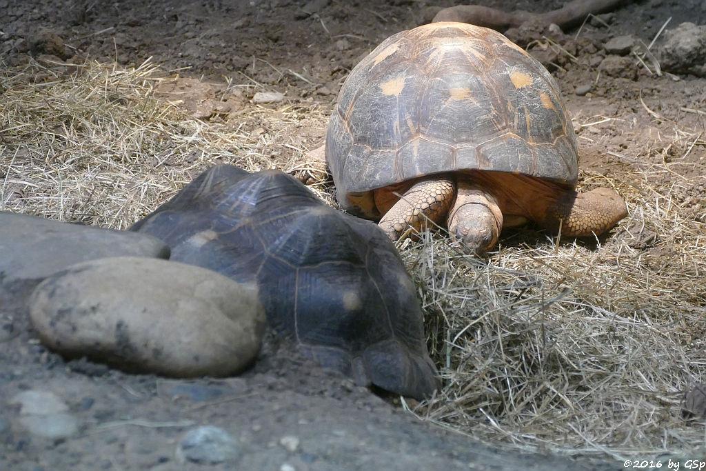 Strahlenschildkröte, Pantherschildkröte