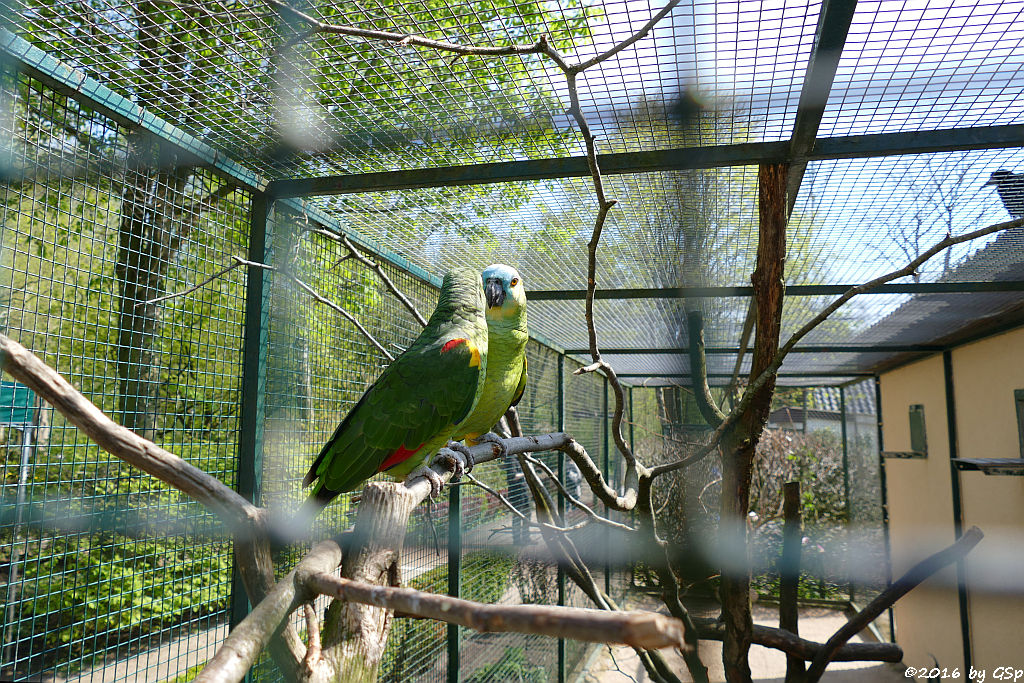 Blaustirn-Amazone