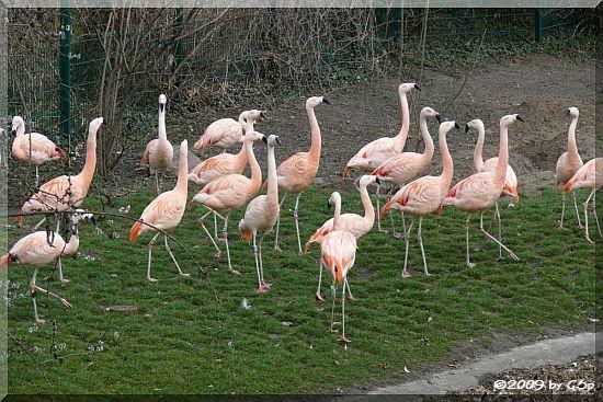 FlamingoanlageChileflamingo