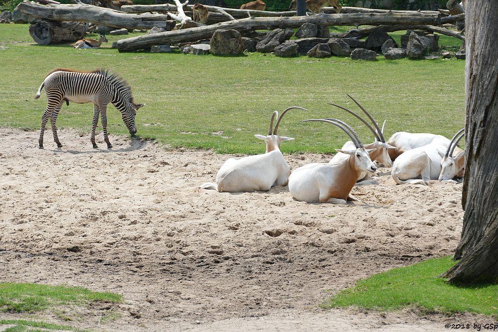 Säbelantilope, Grévy-Zebra, Thomsongazelle., Weißnacken-Moorantilope (Mrs. Grays Wasserbock)