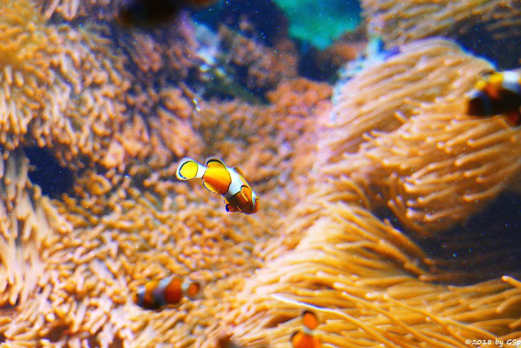 Orangeringelfisch (Westlicher Clownfisch, Orange-Ringel.Anemonenfisch)