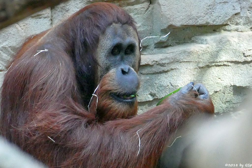 Sumatra-Orang-Utan KEMBALI