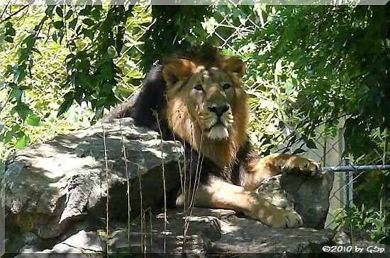 Indischer Löwee KASCHI und KIRI
