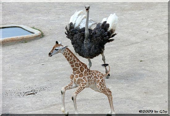 Blauhalsstrauß und Rothschild-Giraffe