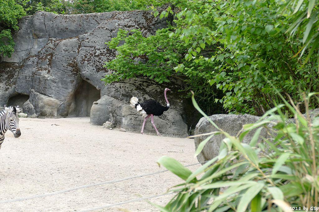 Chapman-Steppenzebra, Nordafrikanischer Strauß (Nordafrikanischer Rothalsstrauß)