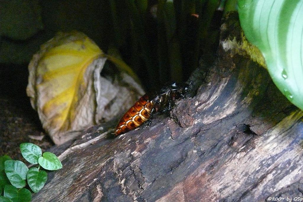 Madagaskar-Fauchschabe