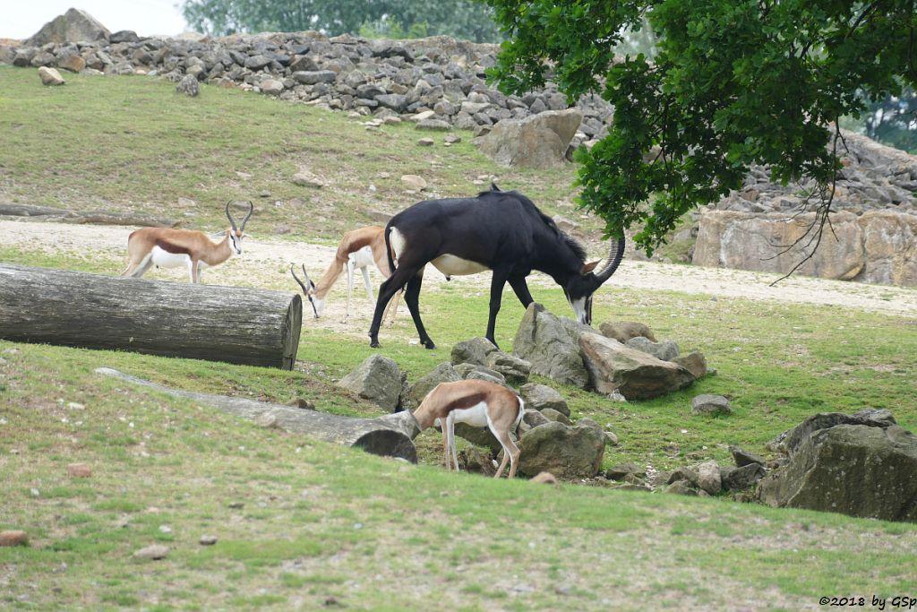 Springbock, Südafrikanische Rappenantilope