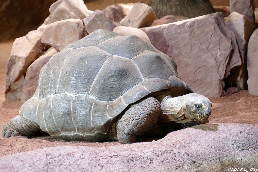 Aldabra-Riesenschildkröte