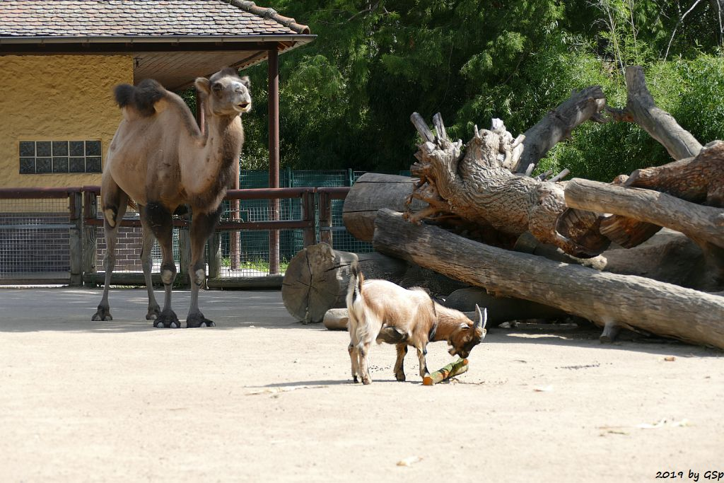Trampeltier (Zweihöckriges Kamel, Hauskamel), Afrikan. Zwergziege (Westafrikan. Zwergziege, Kamerun-Zwergziege)