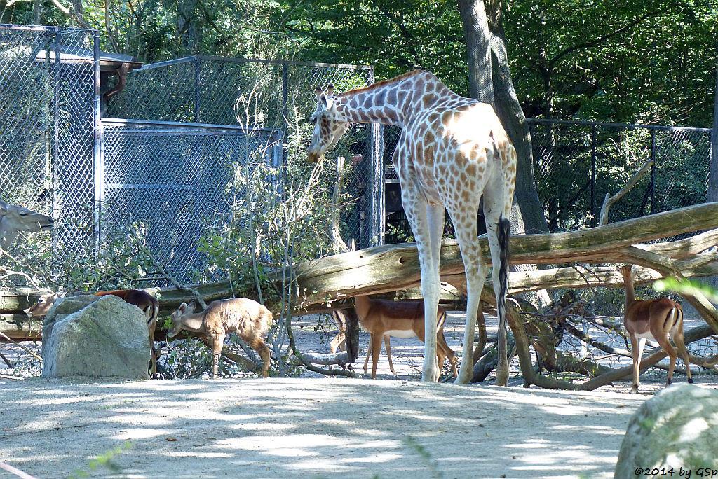 Großer Kudu, Jungtier geb. am 14.08.14, Impala, Rothschild-Giraffe